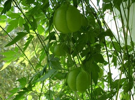 Фото - ліани з плодами
