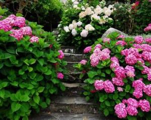 Гортензія - справжня принцеса у вашому саду