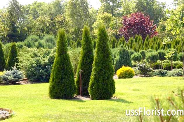 Фото - хвойні рослини для саду