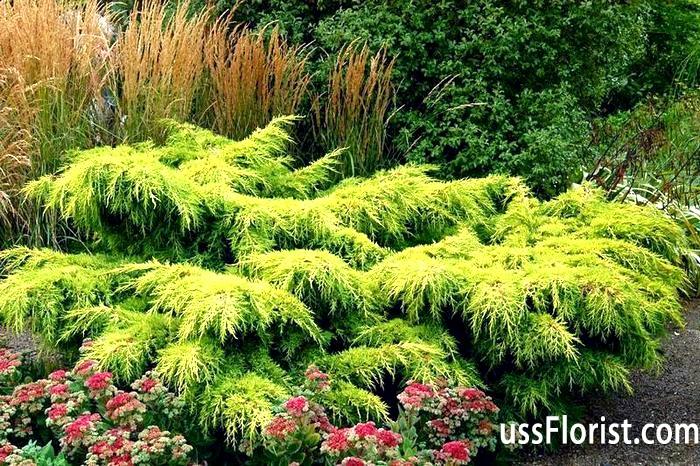 Фото - низькорослі хвойні рослини для саду