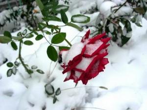 Фото - укриття троянд на зиму