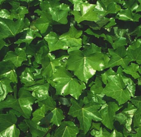 Фото - зелена стіна з плюща