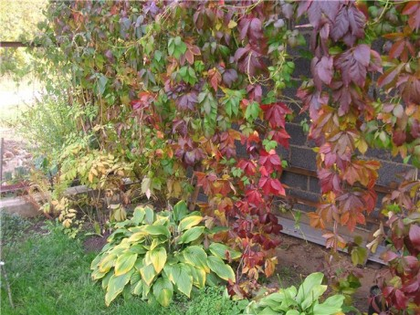 Фото - ліани восени