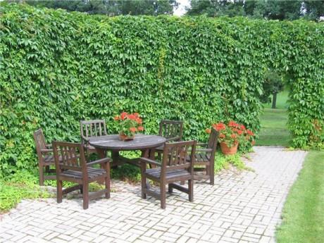Фото - зелена стіна з дівочого винограду на дачі