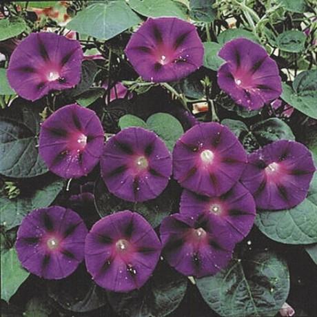 Фото - іпомея відноситься до розряду квітучих ліан
