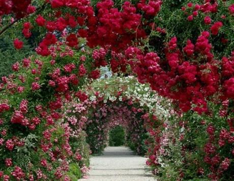 Фото - ліани в оформленні садової алеї