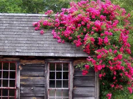 Фото - в'юнкі троянди на заміській ділянці