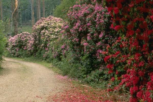 Фото - Квітучі чагарники для живоплоту