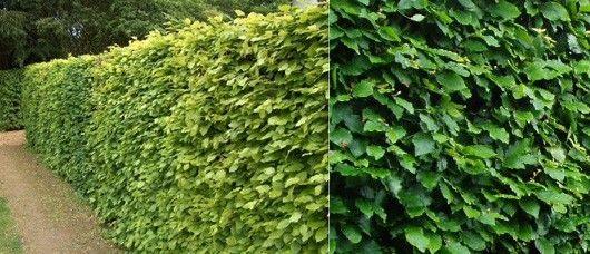 Фото - Ажурні листя бука лісового додадуть зеленої огорожі виразність