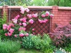 Фото - троянди в ландшафтному дизайні