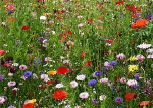 Фото - квітучий мавританський газон