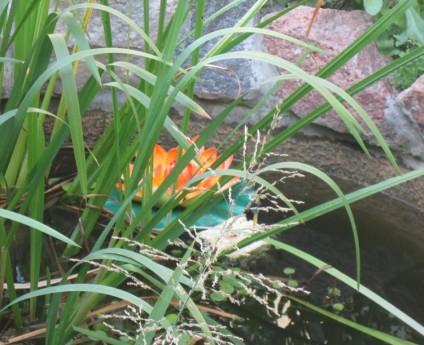 Фото - водні рослини на особистому ставку
