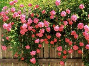 Фото - плетуться троянди