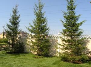 На якій відстані садити дерева від об'єктів ландшафту та архітектури?