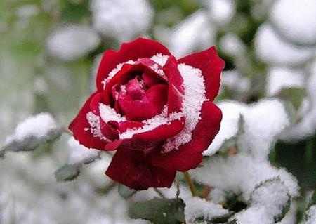 Фото - троянди