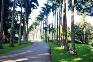 Фото - Капустяна пальма