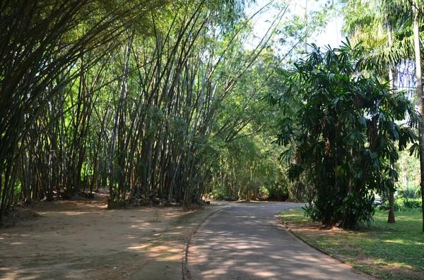 Фото - Бамбукові зарості