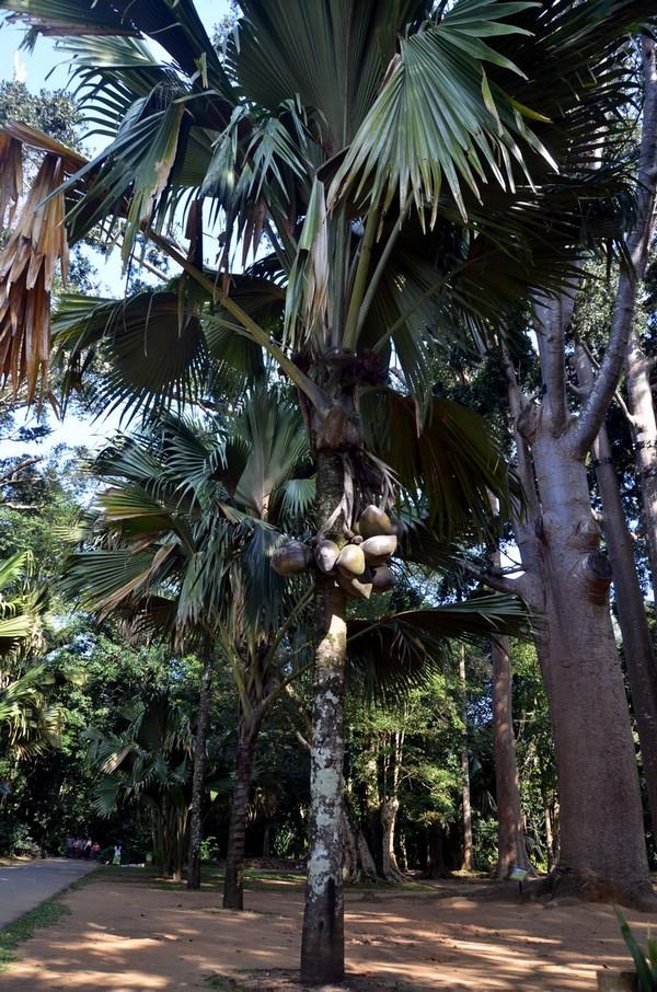 Фото - Сейшельська пальма