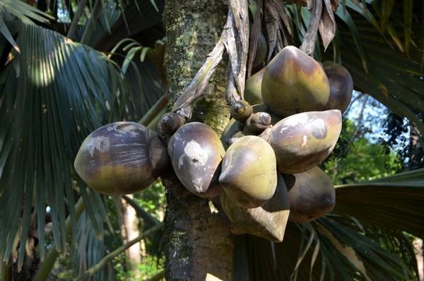 Фото - Плоди сейшельської пальми