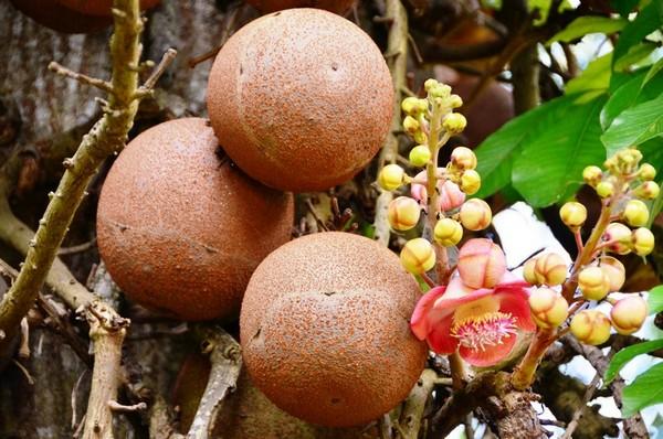 Фото - Плоди гарматного дерева