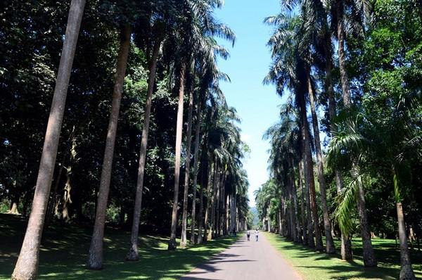 Фото - Алея королівських пальм