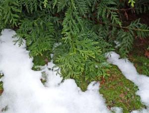 Підготовка туї до зими - укриття і правильний догляд