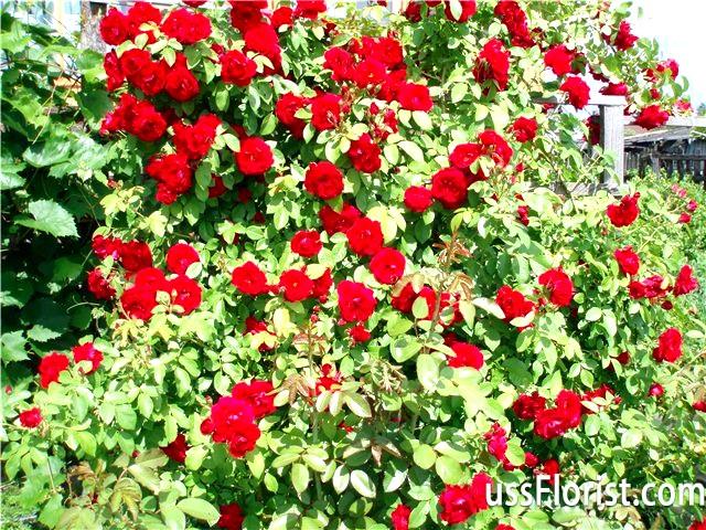 Фото - Квітучі чагарники для дачі
