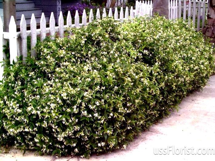 Різноманітність квітучих чагарників для дачі та саду