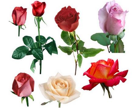 Фото - вибір троянд