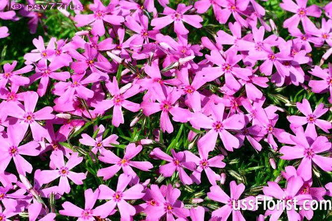 Весняні килими шиловидного флокса