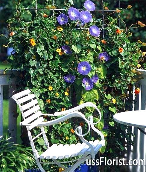 Фото - в'юнкі рослини для саду