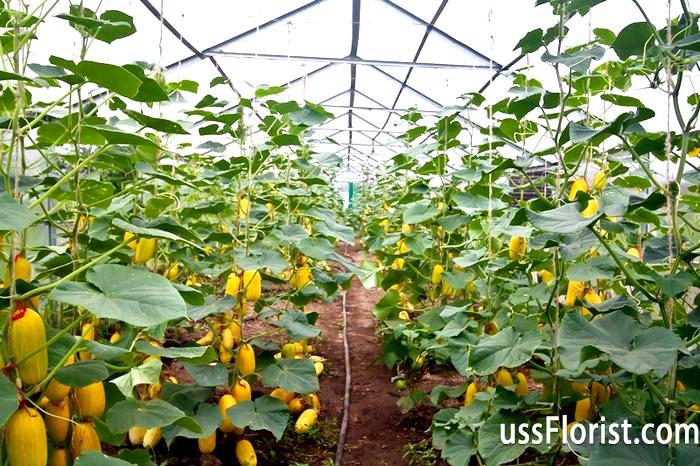 Фото - Вирощування огірків у теплиці