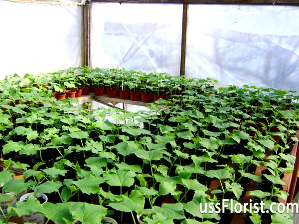 Фото - Посадка огірків у теплиці