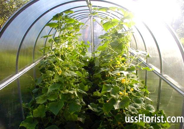 Фото - Огірки в теплиці з полікарбонату