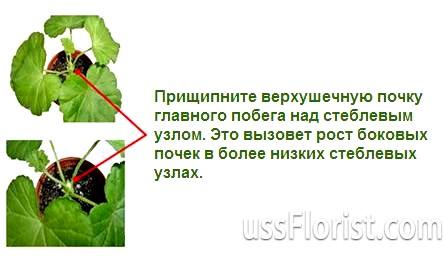 Фото - Як прищипувати огірки в теплиці