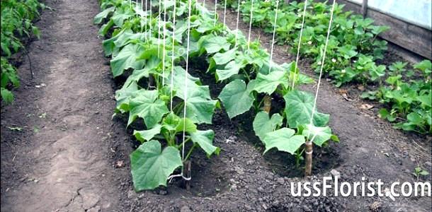 Фото - Як підв'язувати огірки в теплиці