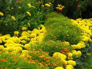 Фото - однорічні квіти для клумби