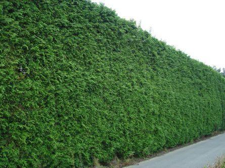 Фото - висока зелена стіна з глоду