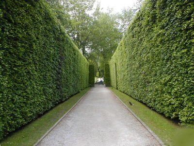 Фото - терасу з живоплоту: підстригають зелену огорожу 2 рази в рік