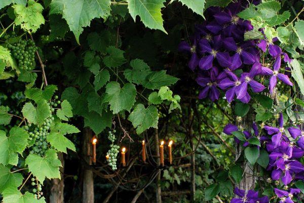 Фото - Ліани - приголомшливе декоративна рослина для дачі