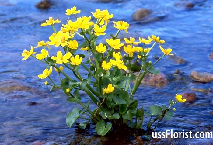 Фото - рослини прісного водойми