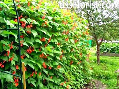 Квасоля в саду – фото