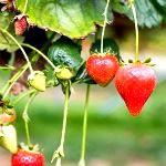 Чим підгодувати полуницю восени. Досвід садівників