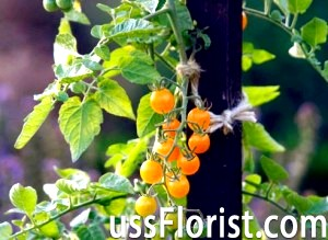 Декоративні садові рослини – помідори! -