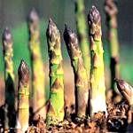 Вишуканий овоч - спаржа. Як виростити спаржу на дачі