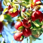 Як обрізати плодові дерева