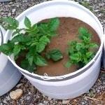 Як посадити і виростити картоплю в бочці