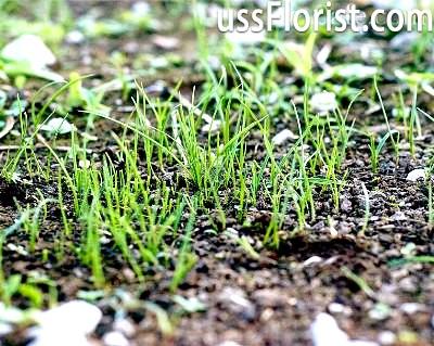 Посів газону на зиму – фото