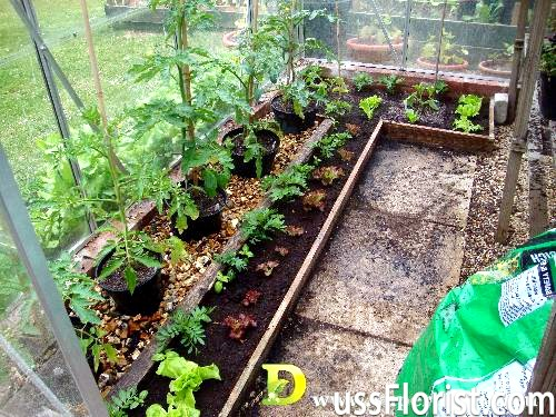 Як правильно посадити, пікірувати й виростити розсаду помідор