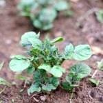 Як садити картоплю під лопату і під солому
